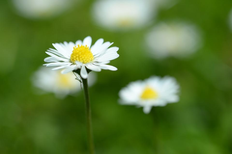 Daisy, Macro, Spring, White, Wild Flower