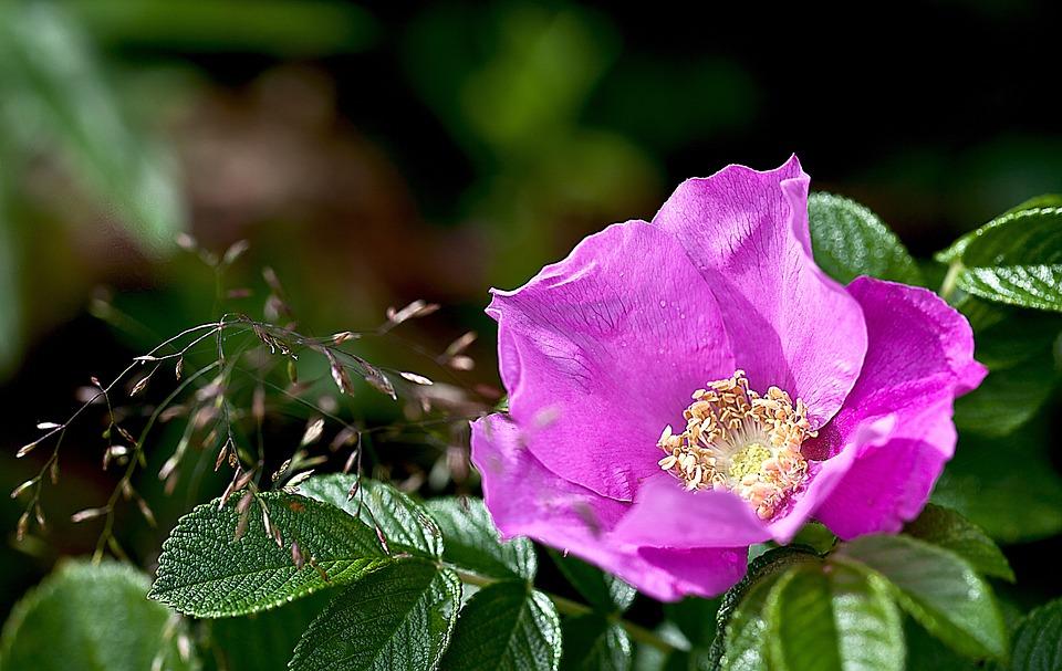 Rose, Wild Rose, Nature, Macro, Rose Petals, Stamens