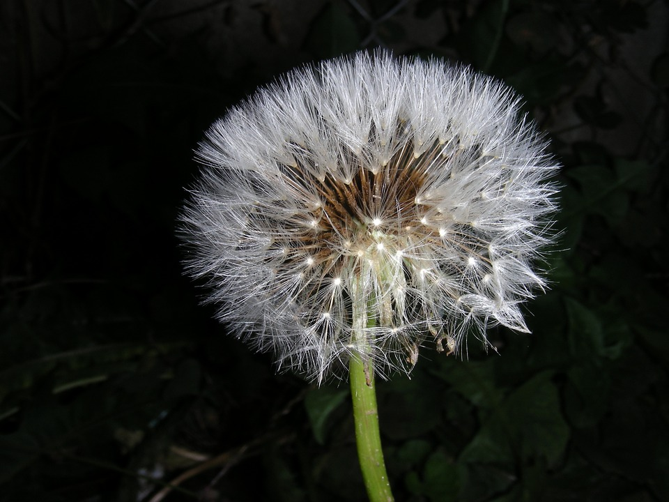 Dandelion, Macro, Wind