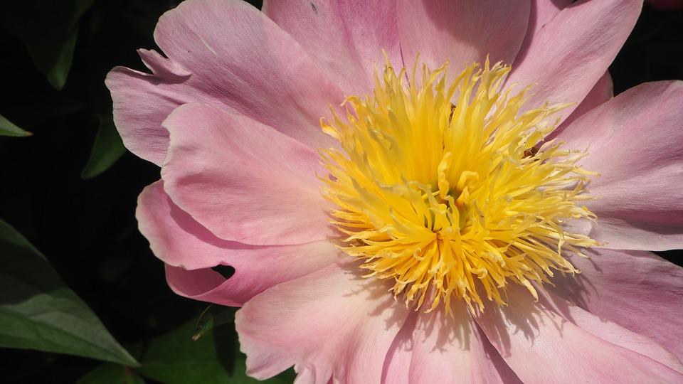 Pink, Yellow, Pink Flower, Yellow Center, Macro, Bloom
