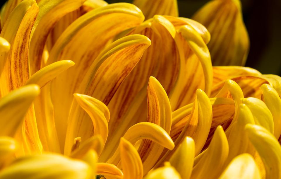 Chrysanthemum, Flowers, Petal, Yellow, Macro
