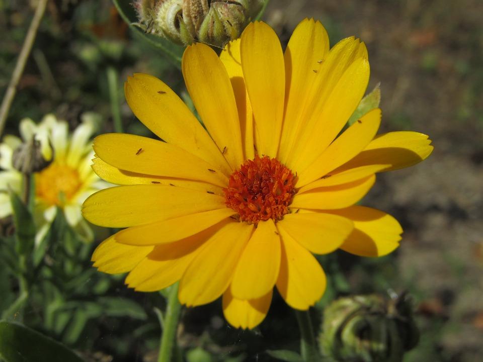 Yellow Flower, Beasts, Macro, Zoom, Garden, Marigold