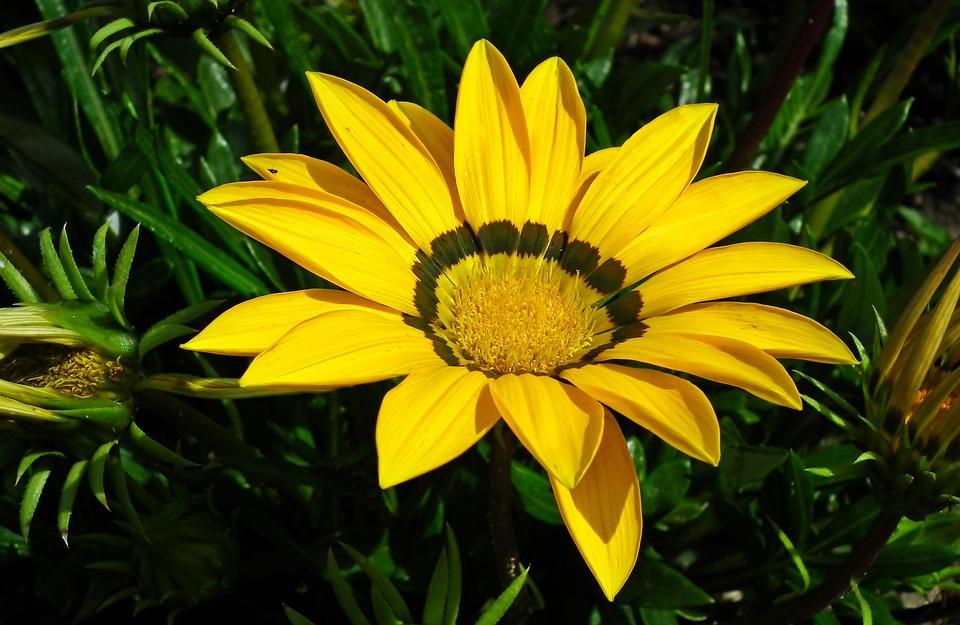 Gazania, Flower, Yellow, Nature, Garden, Summer, Macro