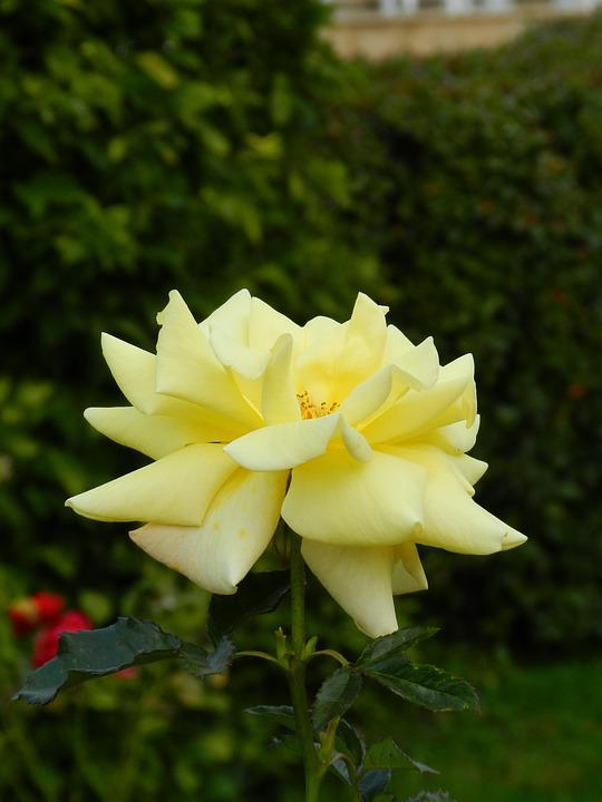 Rose, Flower, Yellow Rose, Macro