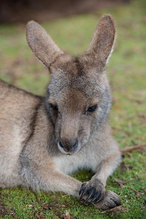 Kangaroo, Animal, Wildlife, Macropus Giganteus