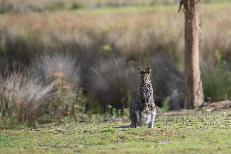 Wallaby, Bennetts Wallaby, Macropus Rufogriseus