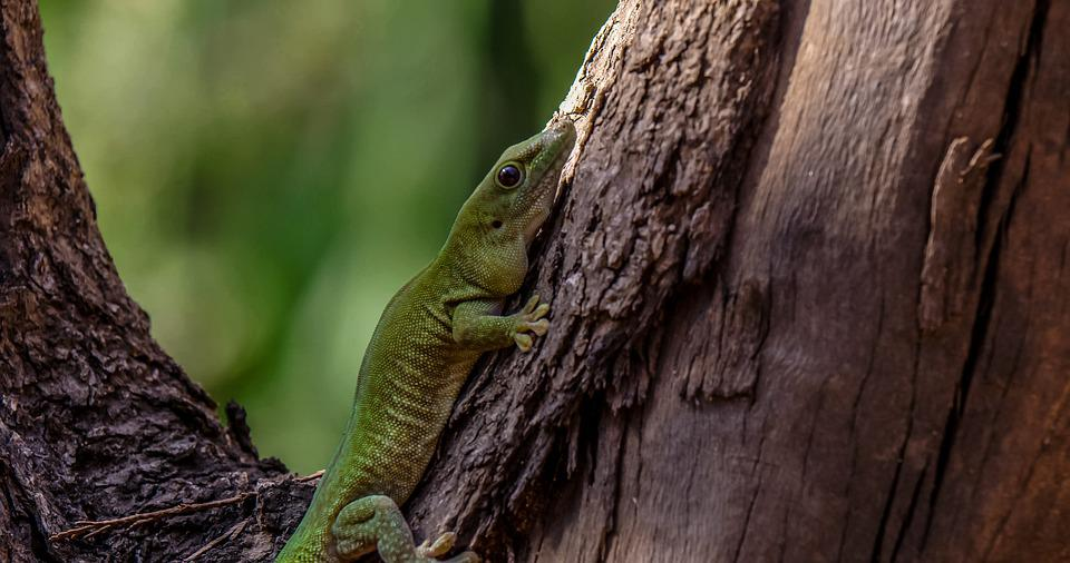 Gecko, Reptile, Animal, Madagascar Giant Day Gecko
