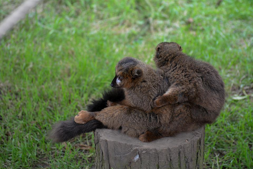 Lemurs, Hug, Hugging, Madagascar, Lemur, Cuddling, Cute