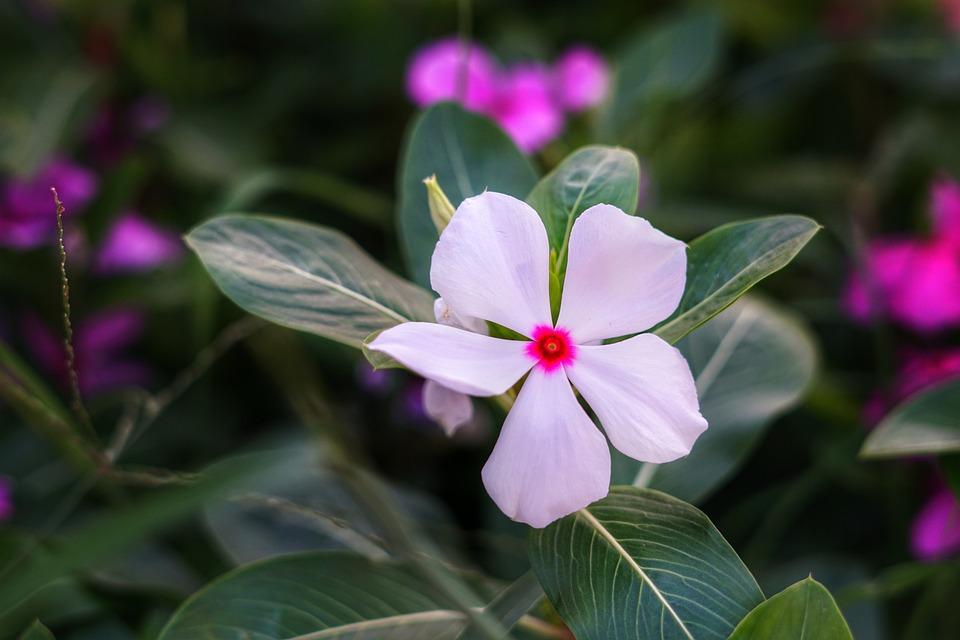 Madagascar Periwinkle, Billygoat Weed