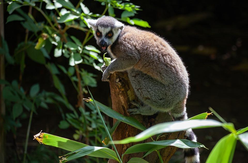Ring Tailed Lemur, Black And White Lemur, Madagascar