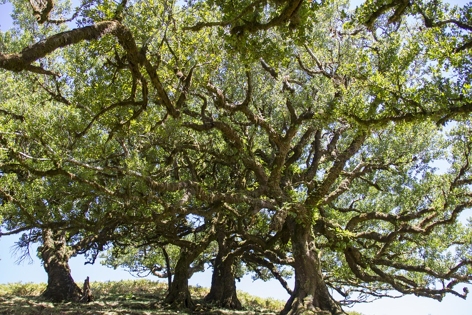 Laurel Forest, Laurel Tree, Madeira, Old Trees