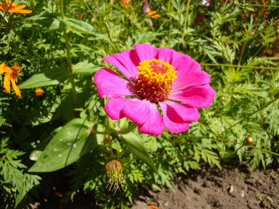 Flower, Magenta, Bermuda, Blossom, Summer