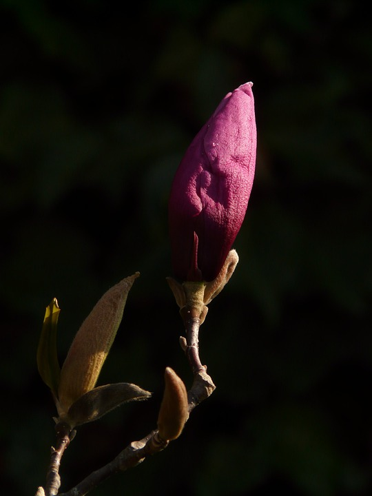 Magnolia, Bud, Blossom, Bloom, Plant, Back Light