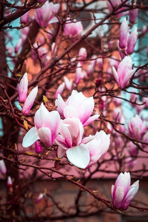 Magnolia, Bloom, Spring, Flower, Dissolved, Flowers