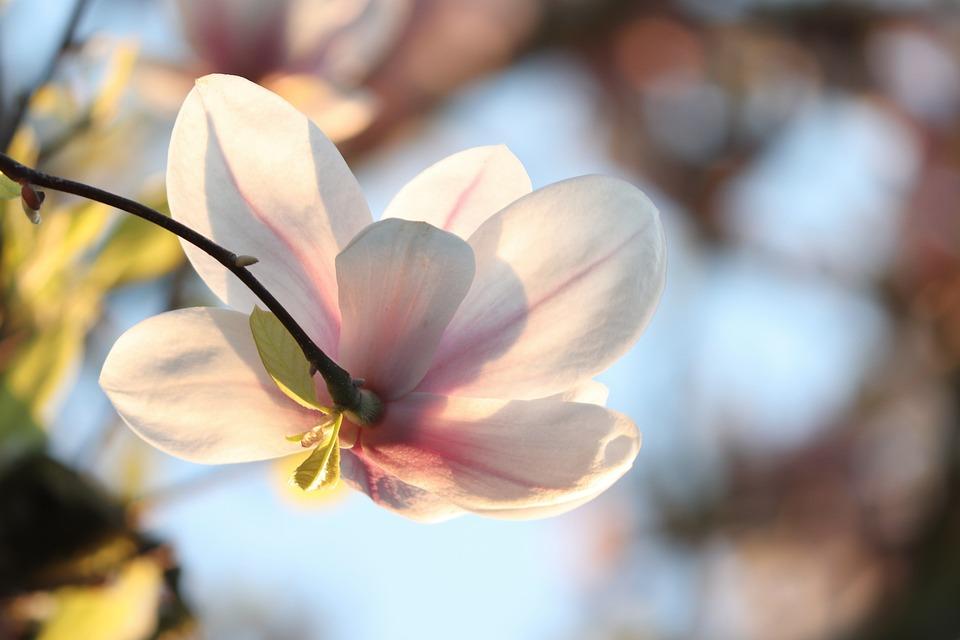 Magnolia, Magnolia Blossom, Detail, Close Up, Spring