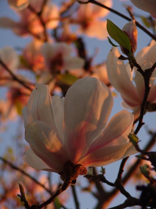 Magnolia, Garden, Flower, Nature, Flora, Rose