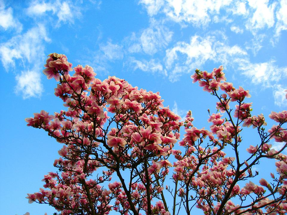 Free photo magnolia pink flower magnolia leaves magnolia tree max magnolia magnolia tree pink flower magnolia leaves mightylinksfo
