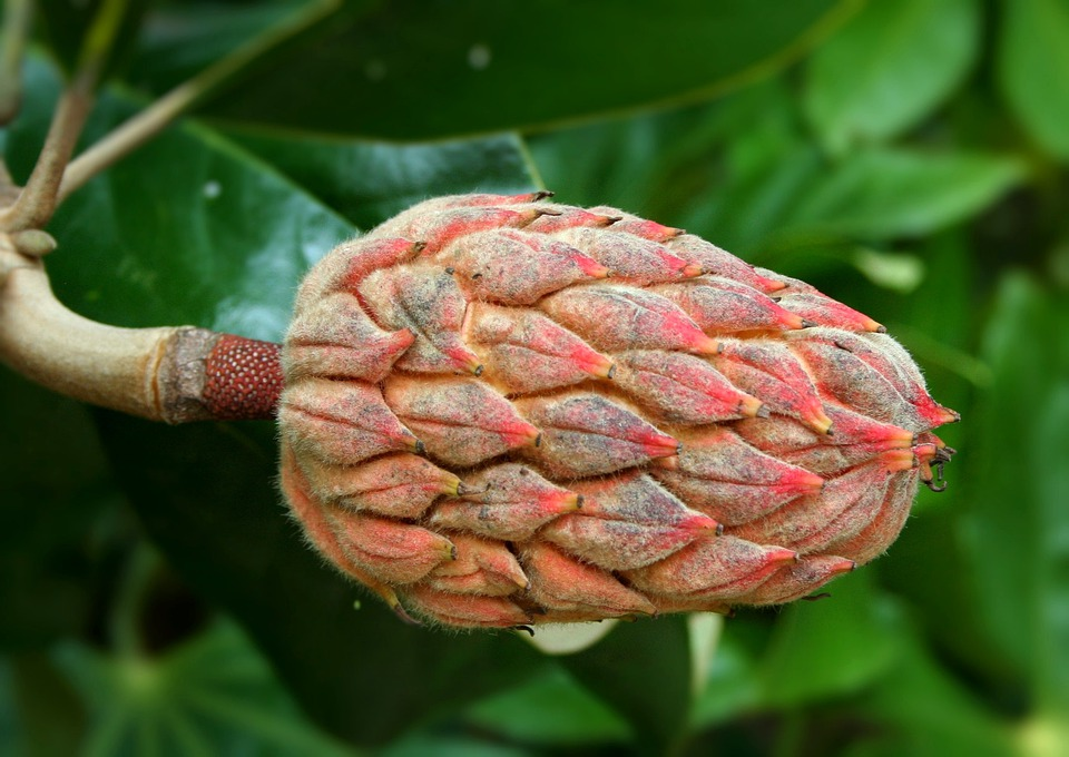 Seed Pod, Magnolia, Seeds, Cone, Shape, Reproduction