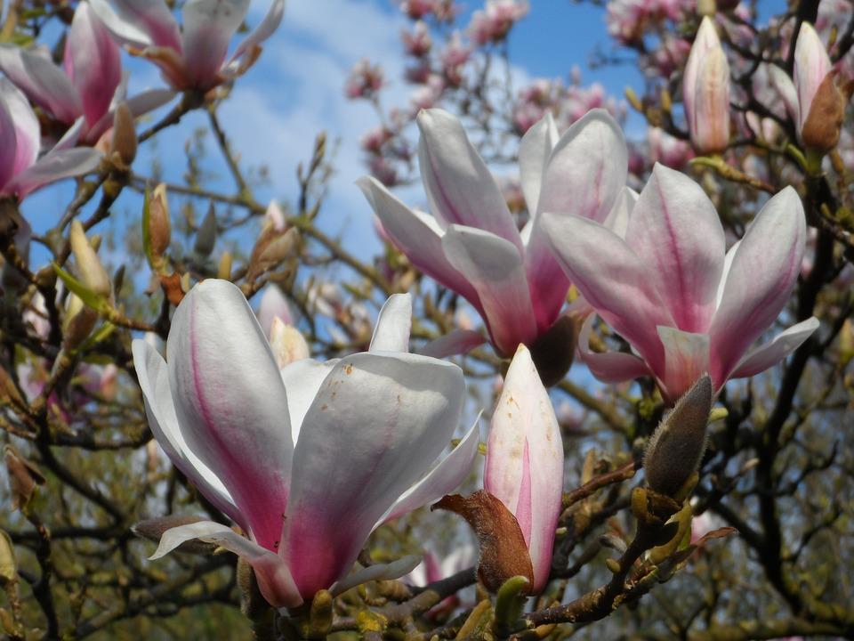 Magnolia, Spring, Bloom, Tree, Nature, Flower