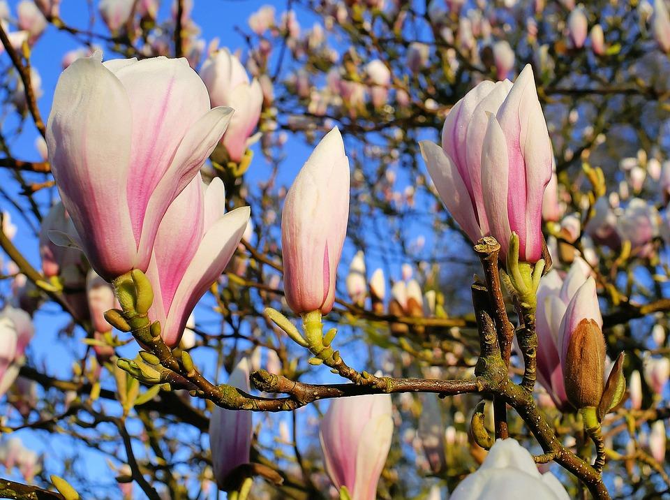 Tulip Magnolia, Flowers, Magnoliengewaechs