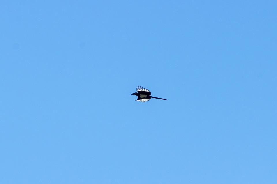 Magpie, Bird, Raven Kind Of, Animal, Wild World, Nature