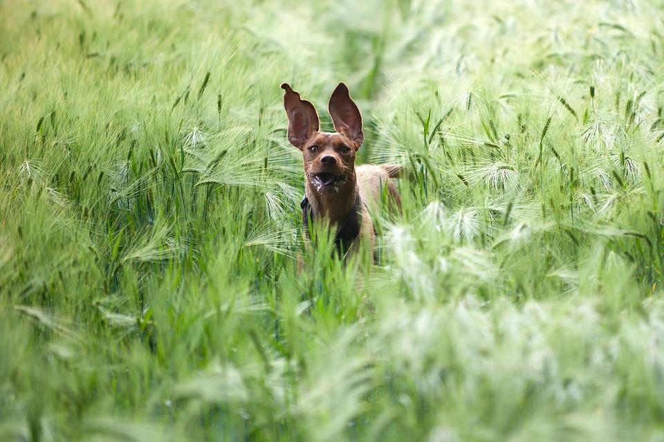 Dog In The Barley Field, Magyar Vizla, Running Dog