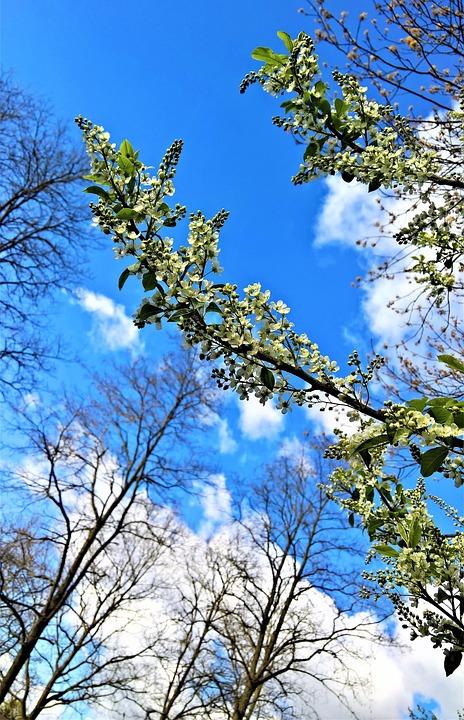 Maiblumenstrauch, Deutzie, Plant, Greenhouse Hydrangea