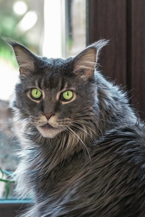 Cat, Tomcat, Looking Cat, Domestic Cat, Maine Coon