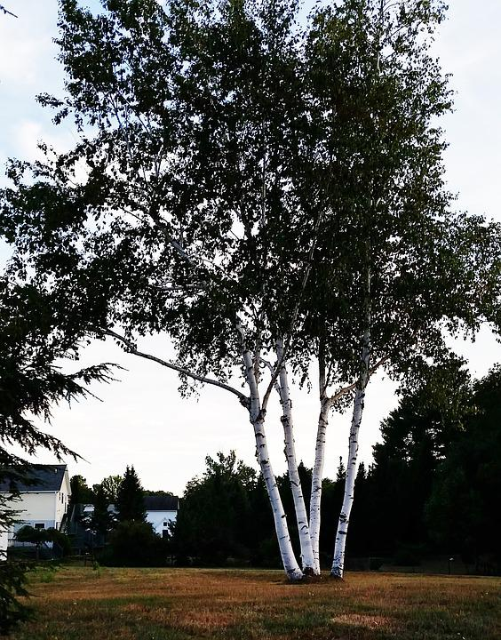 Birch Trees, Maine, Scenery, Trees, Clump, Trunks