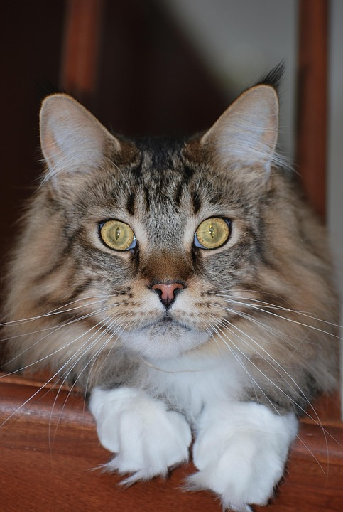 Maine Coon, Mainecoon, Cat, Mackerel, Tabby, Purebred