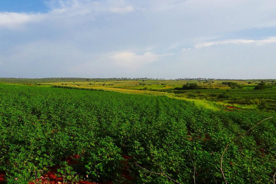 Cultivation, Cotton, Maize, Valley, Landscape, Nature