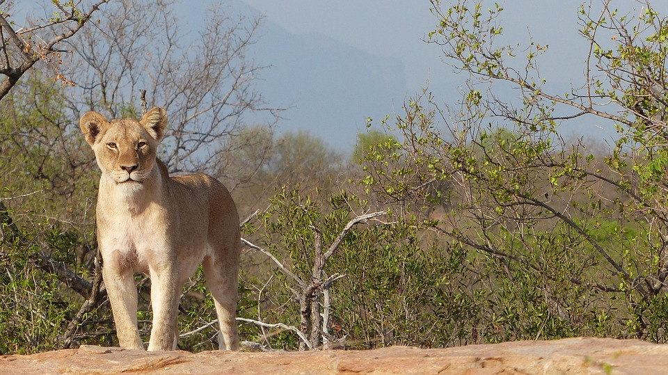 Lioness, Majestic, South Africa, Wallpaper