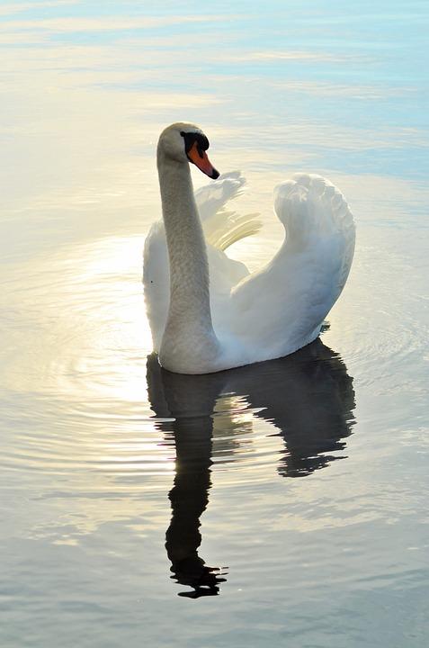 Swan, Lake, Bird, Water, Pond, Majestic, Animal, Nature