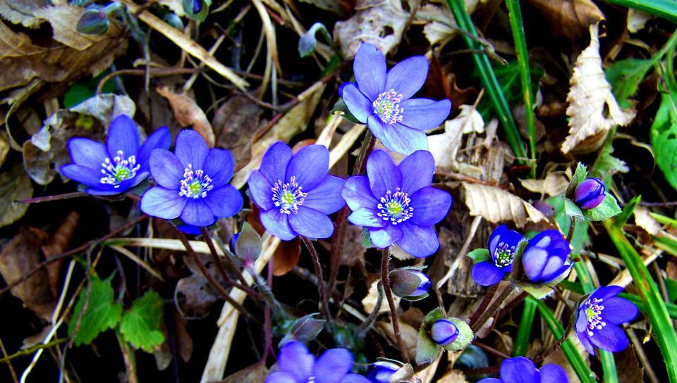 Májvirág, Forest Flower, Spring, Blue