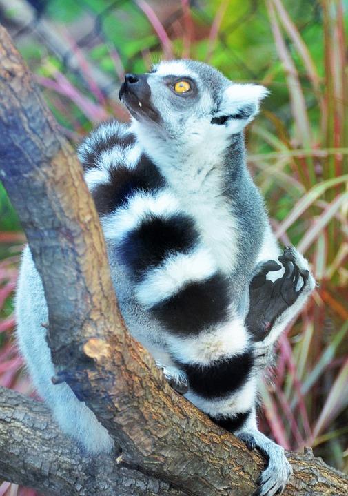 Lemur, Maki, Wild, Maki Catta, Madagascar, Animals