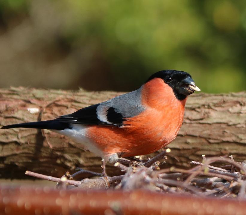 Bullfinch, Male, Garden Bird, Uk, Adult, Bird