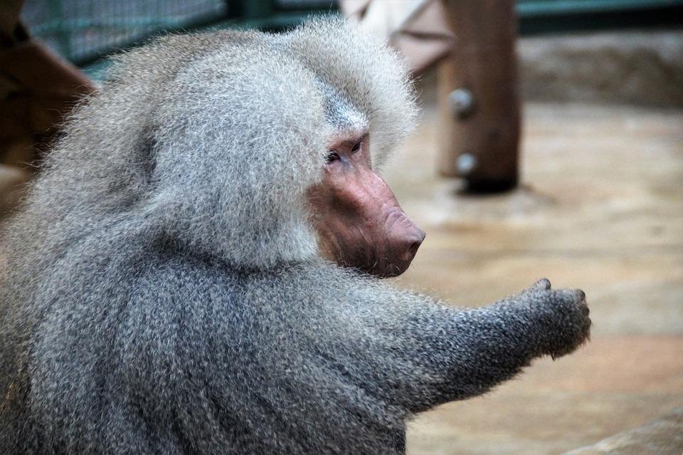 Monkey, Baboon, Animal, Zoo, Primate, Male