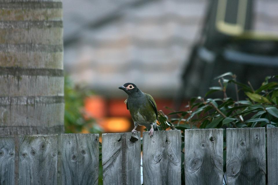 Figbird, Male, Bird, Fence, Backyard, Nature, Flora