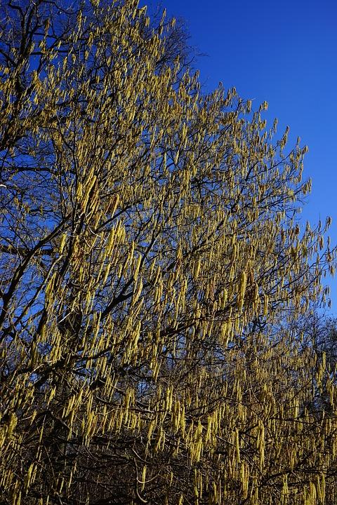 Common Hazel, Inflorescences, Male Blossom, Yellow