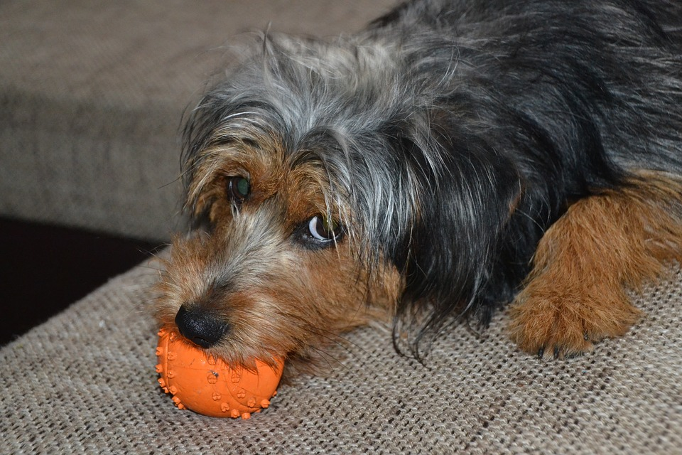 Dog, Hybrid, Dachshund, Yorkshire, Terrier, Pet, Male