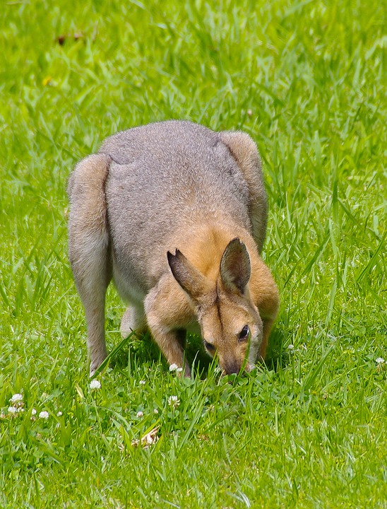 Wallaby, Rednecked Wallaby, Male, Fighter, Feeding