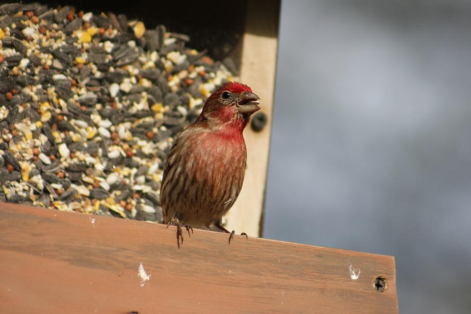 Bird, Nature, Outdoors, Male, Male House Finch, Animal