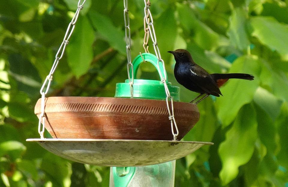 Bird, Robin, Indian Robin, Male, Bird Bath
