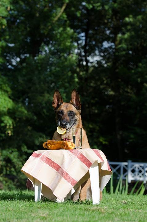 Malinois, Belgian Shepherd Dog, Picnic, Male, Dog Trick