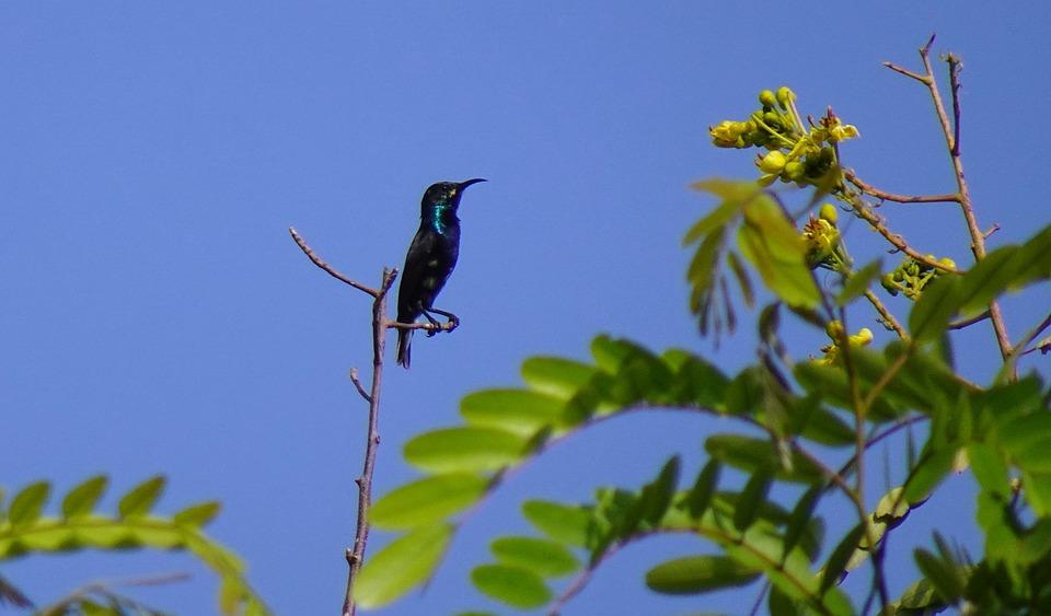 Bird, Purple Sunbird, Cinnyris Asiaticus, Male, Eclipse