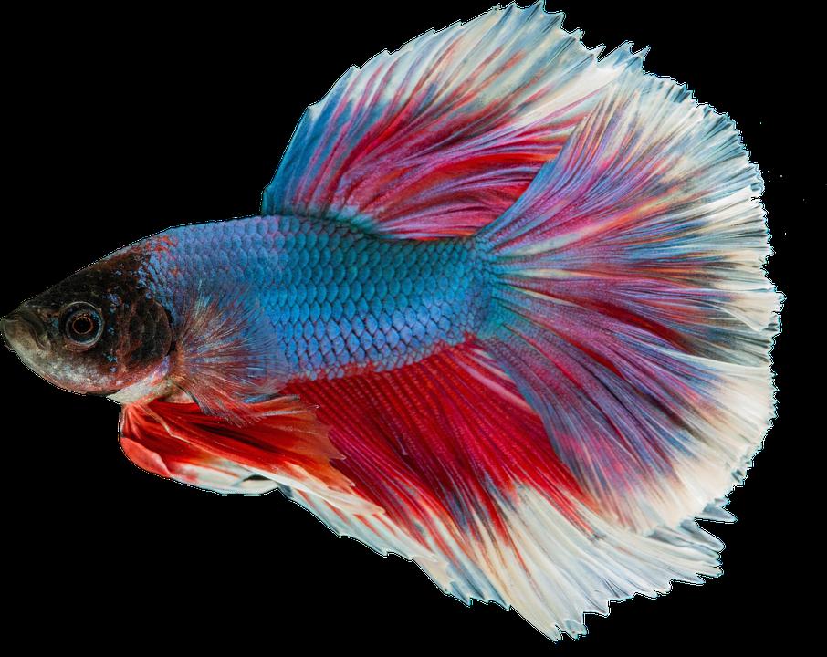 Isolated, Guppy Freshwater Rich, Aquarium, Males