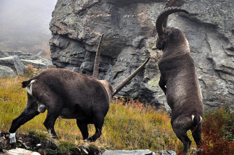 Ibex, Capra Ibex, Males