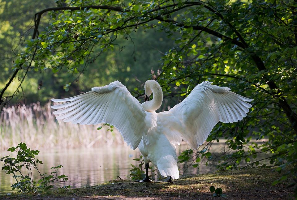 Swan, Males, Water Bird, Nature, Wing, White