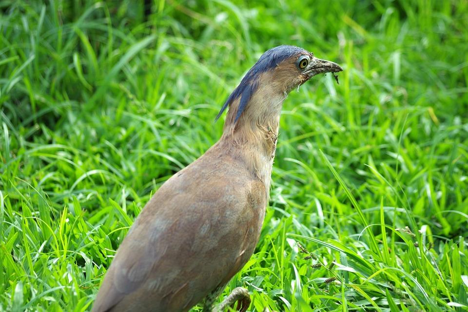 Species, Pheasant, Art, Bird, Plumage, Males, Hahn