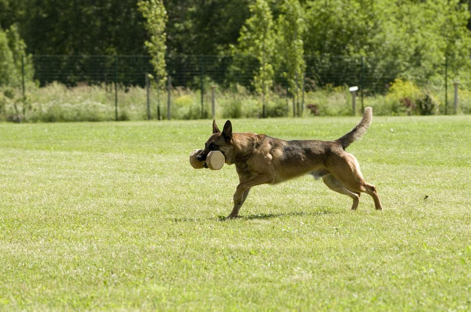 Malinois, Belgian Shepherd, Dog, Retrieving